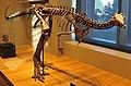 Beneski Museum of Natural History Dryosaurus altus.jpg