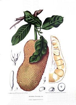 Chlebowiec chempedak