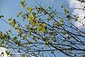 Betula nigra Heritage 11zz.jpg
