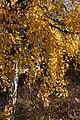 Betula pendula Rauduskoivu I8920 C.JPG
