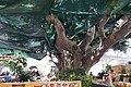 Big tree - panoramio (2).jpg