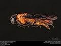 Birch Sawfly (Argidae, Arge pectoralis (Leach)) (35925616554).jpg