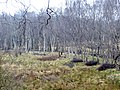 Birch on one of the old railway junctions - March 2013 - panoramio.jpg