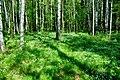 Birches in Pavlovsk (8082305365).jpg
