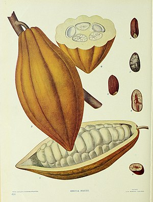 Maya cuisine -  Common cocoa seed that would be used to make hot chocolate.