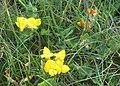 Birdsfoot Trefoil (Lotus corniculatus) - geograph.org.uk - 1313737.jpg