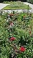 Blühkräuter im Rosengarten.jpg