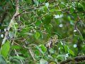 Blachia andamanica subsp. denudata (6672796225).jpg