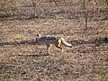Black-backed Jackal Canis mesomelas in Tanzania 2757 Nevit.jpg