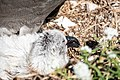 Black-footed Albatross and chick Sand Island Midway Atoll 2019-01-14 15-07-55 (47295134311).jpg