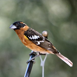 Grosbeak - Black-headed grosbeak (Pheucticus melanocephalus)