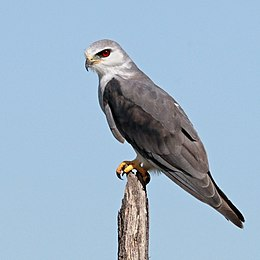 Black-shouldered kite (Elanus caeruleus caeruleus) young adult.jpg