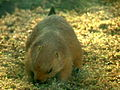 Black-tailed Prairie Dog 07.jpg