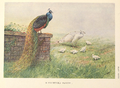 Black-winged Peafowl by George Edward Lodge.png
