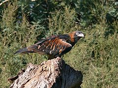 Black Breasted Buzzard 2.jpg