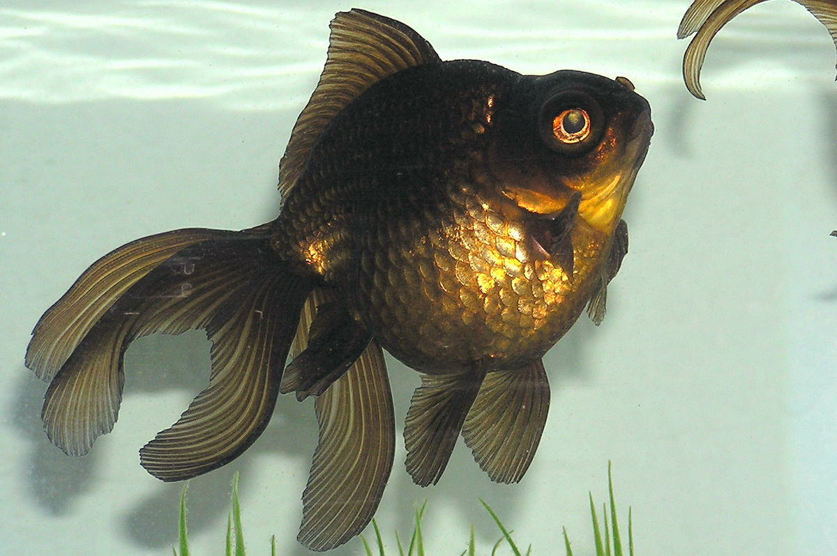 a description of the goldfish and the fisherman Goldfish (carassius auratus) - species profile  goldfish grows rapidly and thus is limited in their usefulness as a forage fish the use of goldfish as baitfish is.