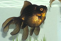 Black Moor Goldfish.jpg