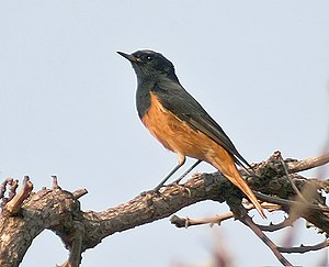 Phoenicurus - Phoenicurus ochruros