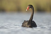 Black Swan 2 - Laguna de la ciudad de Pitt.jpg