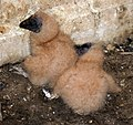 Black Vulture hatchlings.jpg