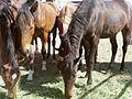 Black horses.jpg