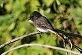 Black phoebe, Sayornis nigricans, along the Guadalupe River in Santa Clara, California, USA (30839206542).jpg
