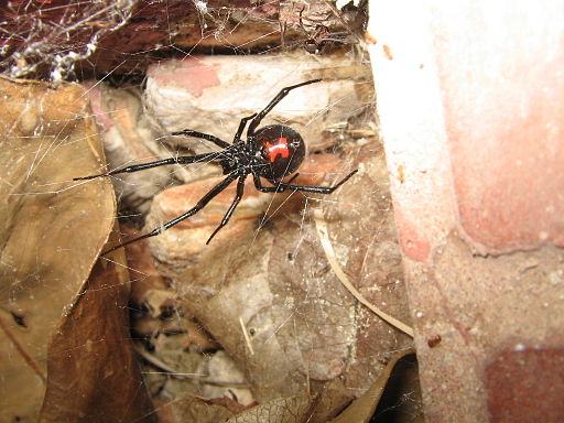 Black widow (Latrodectus mactans)