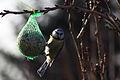 Blaumeise Cyanistes caeruleus 6193.jpg