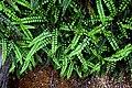 Blechnum penna-marina in Aoraki Mount Cook NP 04.jpg