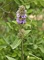 Blephilia ciliata (downy wood mint) (near Dillon Lake, Ohio, USA) (44934616321).jpg