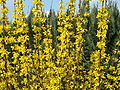 Blooming Forsythia 01.jpg