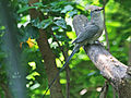 Blue-naped Mousebird SMTC.jpg