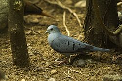Blue Ground-Dove - Rio Tigre - Costa Rica S4E9951 (26631236791).jpg