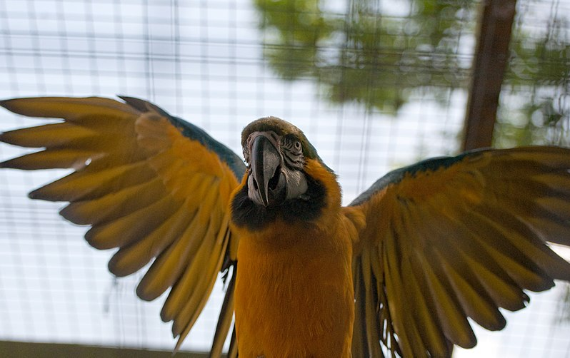 File:Blue and gold macaw wings spread (5751729609).jpg