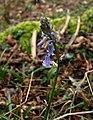 Bluebell, Horse Park Plantation - geograph.org.uk - 706319.jpg