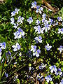 Bluets in Seattle.JPG