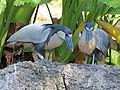 Boat-billed Heron RWD3.jpg