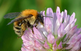 Trifolium pratense - Pollinating Bombus schrencki