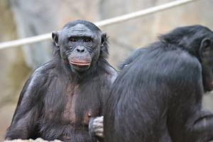 Great ape personhood - Bonobos, members of the great ape family