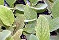 Borago officinalis 2zz.jpg