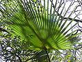Borassus aethiopum 0036.jpg