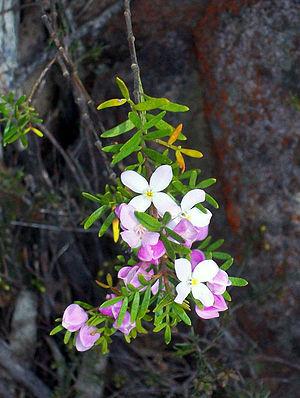 Mount Imlay National Park - Image: Boronia imlayensis