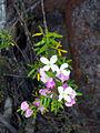 Boronia imlayensis.jpg