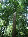 Bosque húmedo. Carara. Costa Rica.JPG