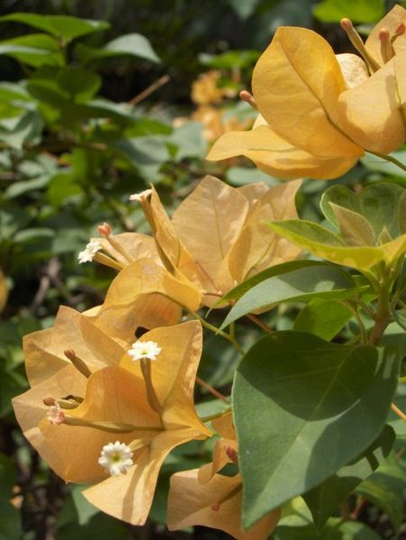 File:Bougainvillea-Flowers-KayEss-1.jpeg