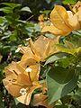 Bougainvillea-Flowers-KayEss-1.jpeg