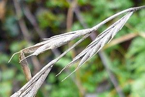 Brachypodium sylvaticum - Dry inflorescence