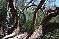 Branques d'olivera, parc de la Rambleta de València.JPG