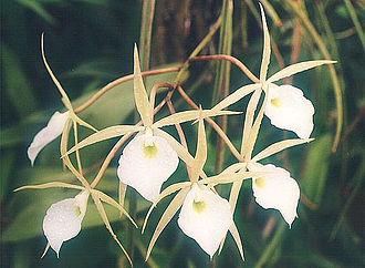 Laeliinae - Brassavola flagellaris, a species within the Laeliinae subtribe