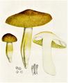 Bresadola - Tricholoma corypheum.png